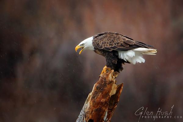 Eagle224_10x15