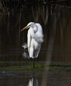 Herons, Bitterns, Sandhill Cranes, and Egrets