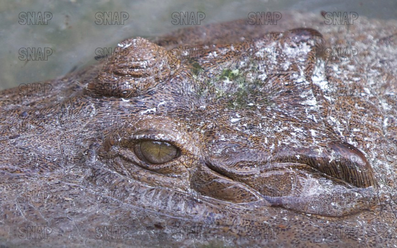 African Slender-Snouted Crocodile