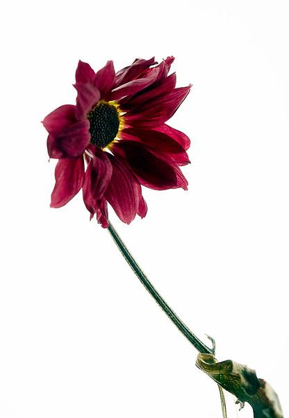 Flower_71I8519.jpg