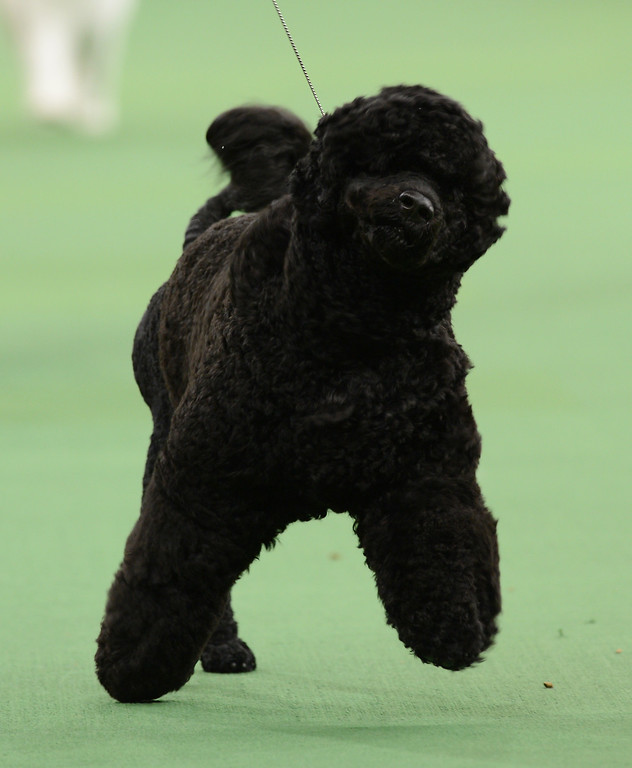 . A Portuguese Water Dog was the winner of the Working Group during the Westminster Kennel Club Dog Show February 12, 2013 at Madison Square Garden in New York.  STAN HONDA/AFP/Getty Images