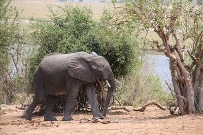 Get wild: Chobe Safari