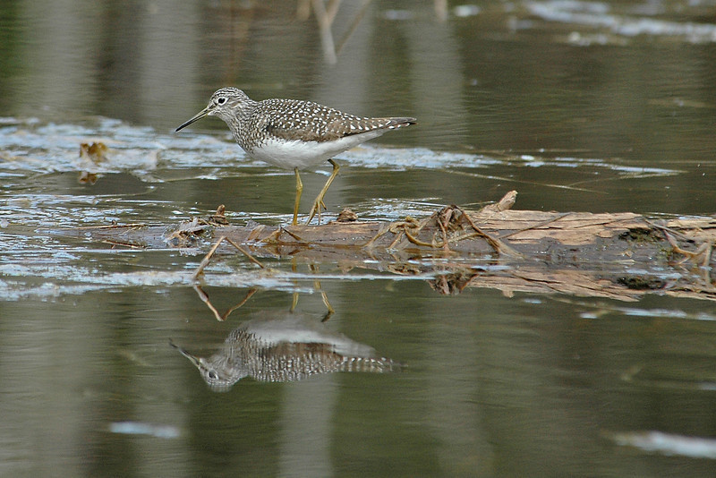 Sandpiper - Solitary - Dunning Lake, MN