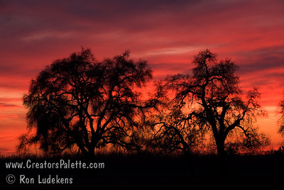 Quercus lobata (Valley Oaks) and Sunsets