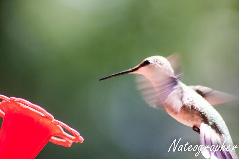HummingBirds-4294.jpg