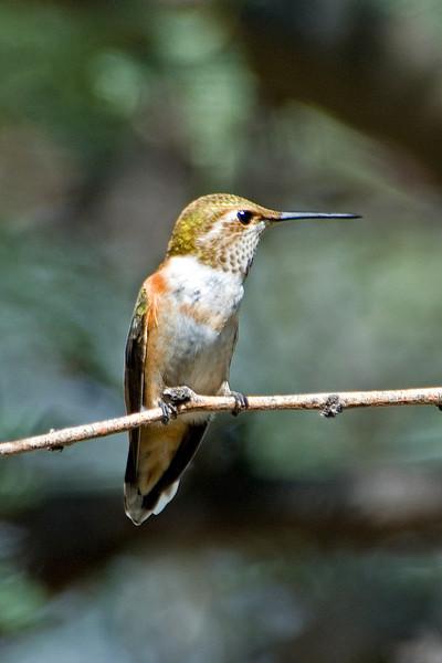 Hummingbird - Rufous/Allens - Ash Canyon B&B - Hereford, AZ - 02