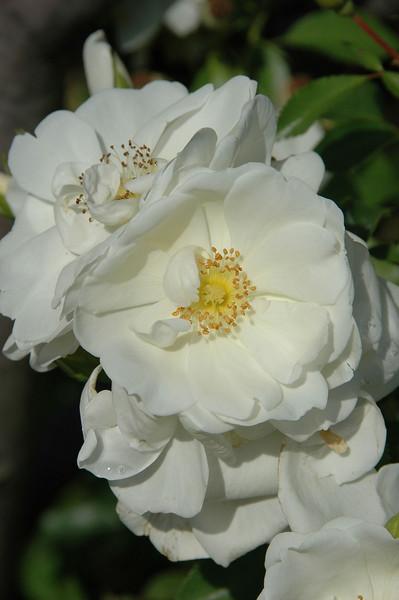 Carpet Rose (1).JPG