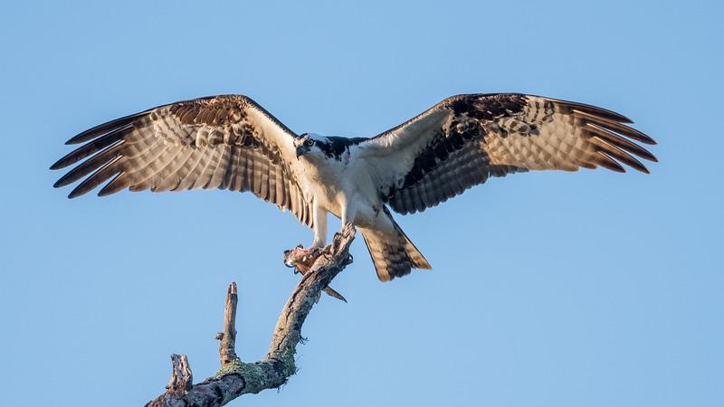 Osprey & Fish_500_7060.jpg