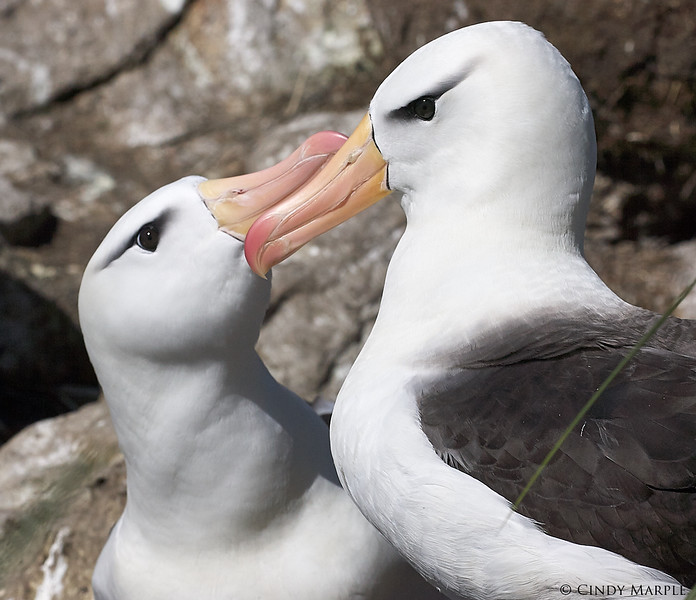 Black-browed_Albatross_16.jpg