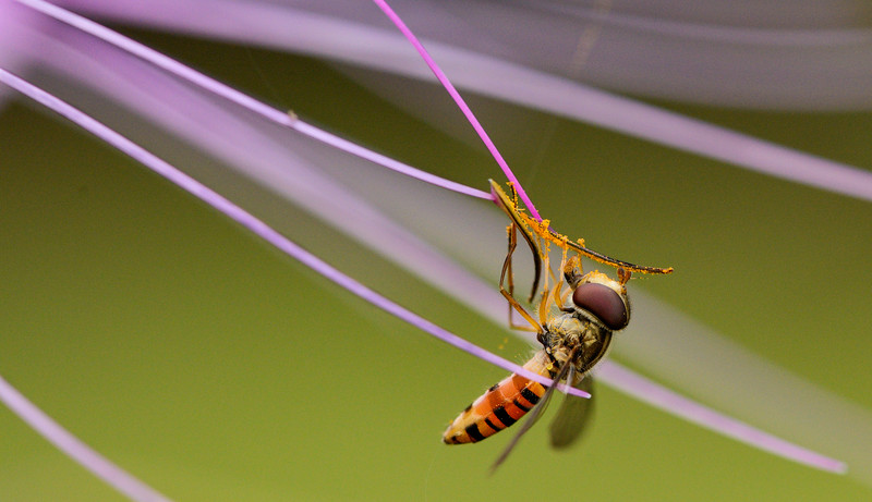 Hover-fly-and-pollen-meghalaya-1.jpg