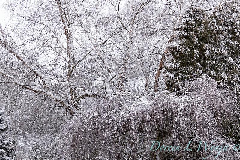 Betula pendula 'Youngii' in snow_4232.jpg