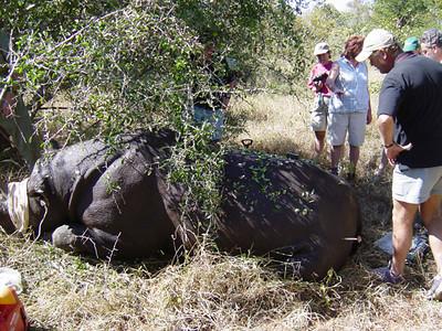 05 23 04 Rhino Darting 3.jpg