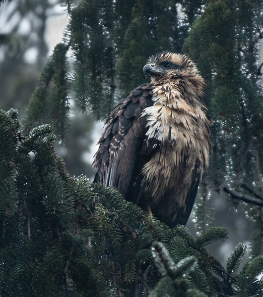Great Black Hawk in the pine boughs