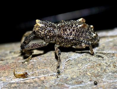 Orthorhinus cylindrirostris  (Molytinae) - Elephant Beetle