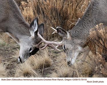 Mule Deer Bucks M79118.jpg