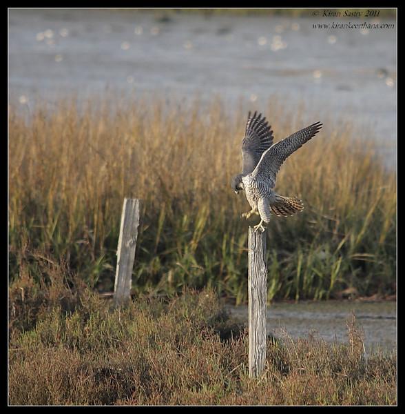 Peregrine Falcon ready to take off, San Elijo Lagoon, San Diego County, California, February 2011