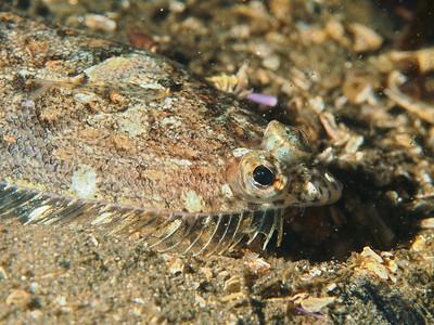 Citharichthys stigmaeus (speckled sanddab)
