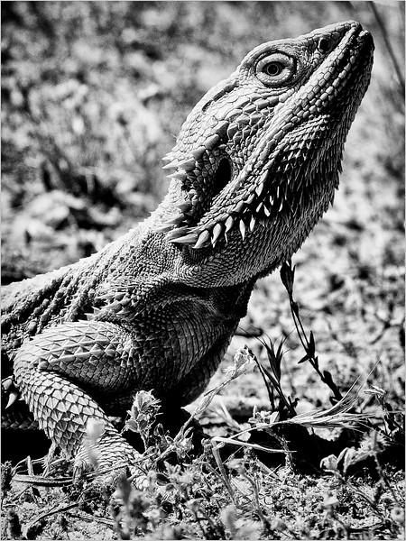Dragon Stare
