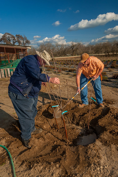 Photos showing the 3 in space of 1 tree planting. Three cherry trees in this combination.