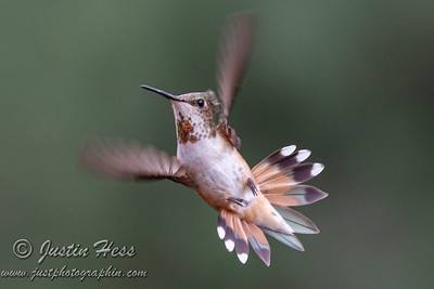 Hummingbirds 07-15-2020