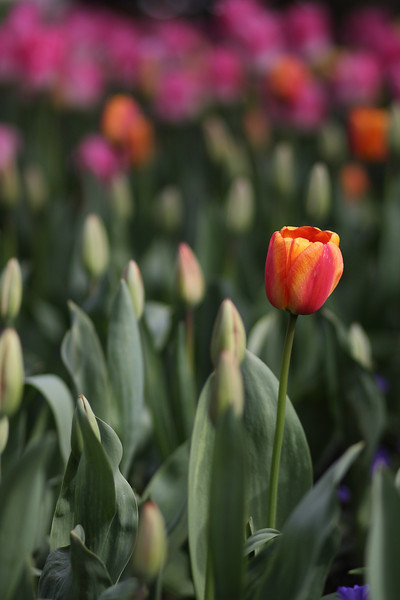 Tulips-2010 14.JPG