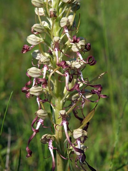 H. hircinum IJmuiden 05-06-13 (3).jpg