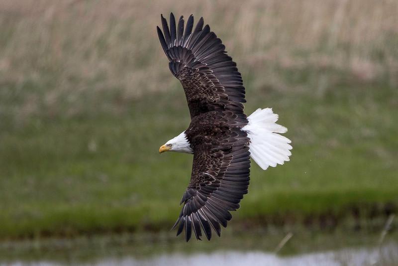 Bald Eagle, banking