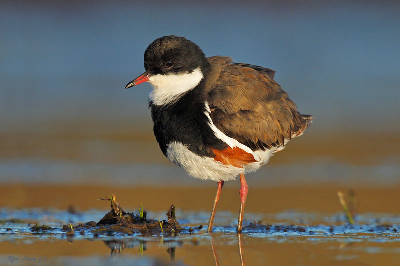 Red-kneed Dotterel 2.jpg