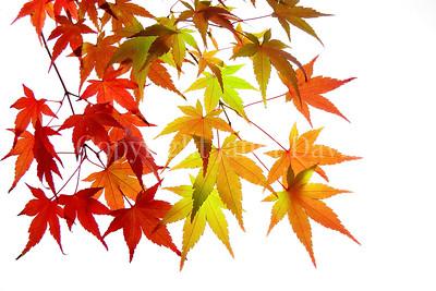 Fabulous Fall Finery:  Studio Portraits of Autumn Leaves