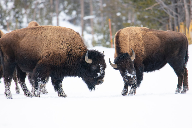 387A9953 Two bison facing off.jpg