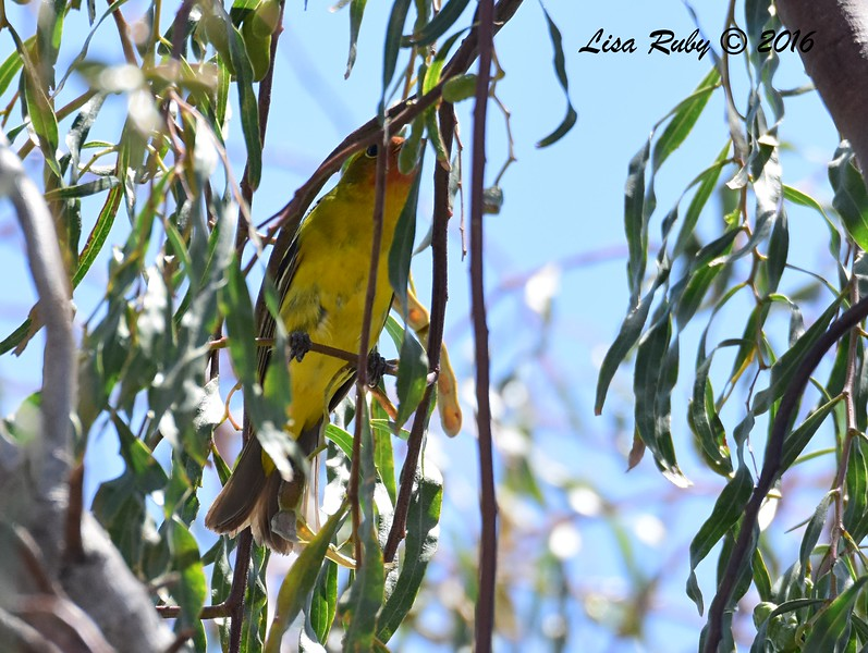 Western Tanager, immature male - 5/26/2016 - Borrego Springs, market parking lot