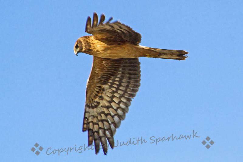 Northern Harrier - Judith Sparhawk