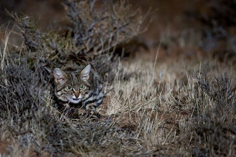 A black-footed cat (Felis nigripes) hunts amongst the short desert scrub in the Karoo of South Africa. This is Africa's smallest cat, and the deadliest of the entire cat family - with a 60% hunting success rate. They will walk as far as 20 miles a night in search of food, the furthest recorded for a small cat.