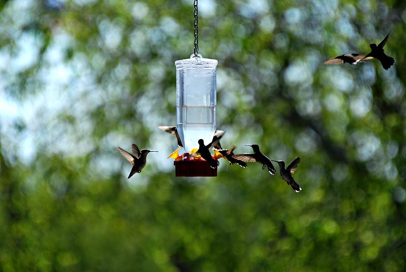 Hummingbirds,TX