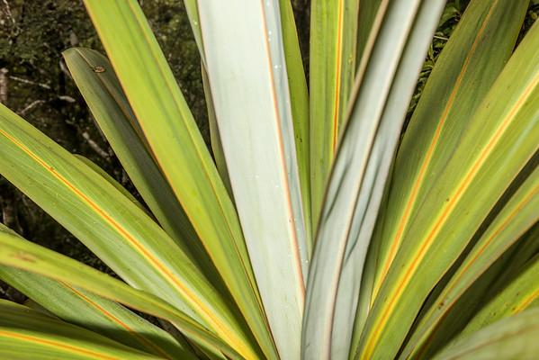 Mountain cabbage tree - Cordyline indivisa