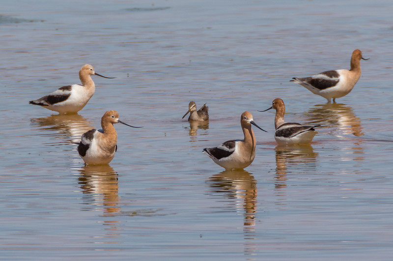 American Avocet and Short-billed Dowitcher