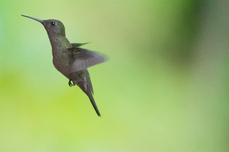 19-Sept Brazil Birds-8260.JPG