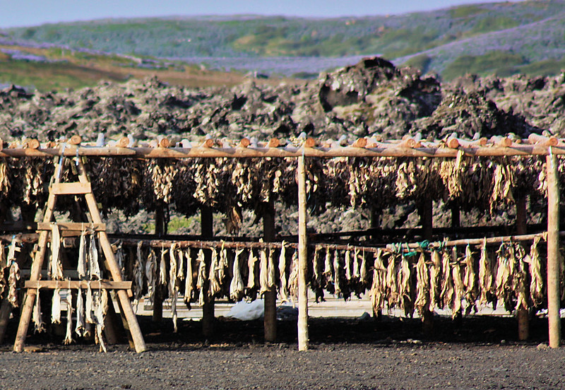 Dried Fish drying above naturally warm earth