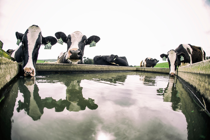Bivalve Dairy heifers at Straus Home Ranch