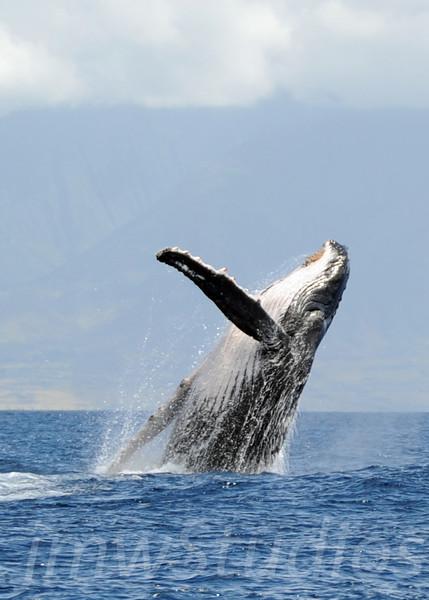 2008 Maui Whales