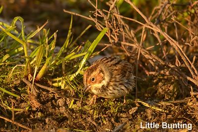 Little Bunting, Eureka CA, USA