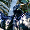 Anhinga Cormorant Drying its Wings in Mangroves of San Blas