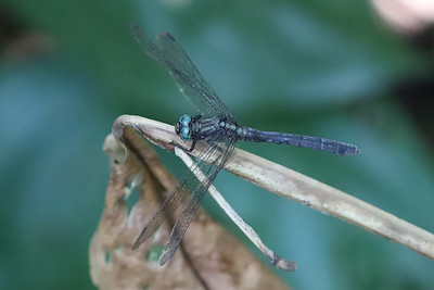Orthetrum julia
