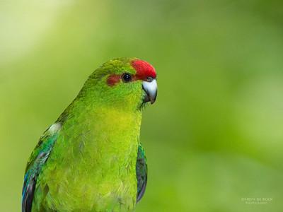 Red-crowned Parakeet (Cyanoramphus novaezelandiae)