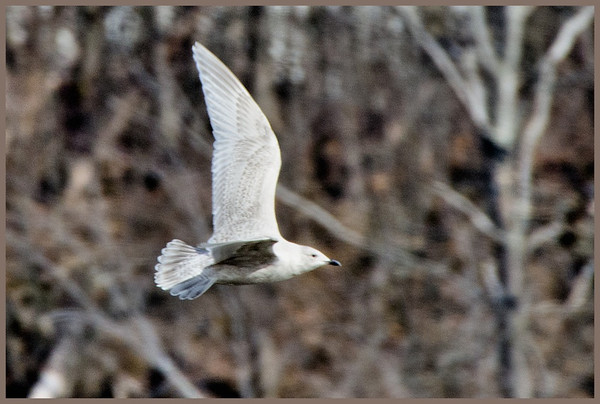 Iceland Gull-Cresent Power Plant