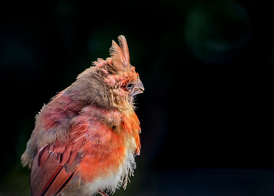 Blotchy Cardinal