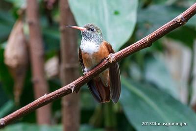 Vogels Kolibrie