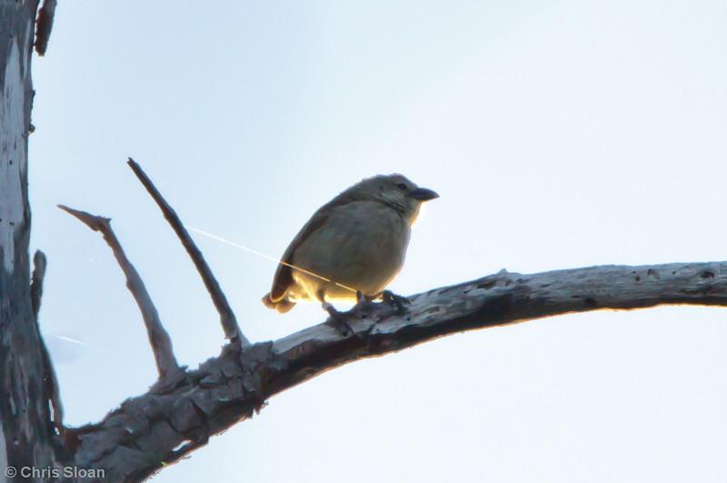 Mangrove Finch at Playa Tortuga Negra, Isabela, Galapagos (11-24-2011)-4.jpg