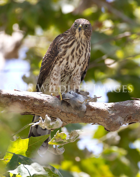 Coopers_Hawk_with_Prey_Cropped_AE4E0254.jpg