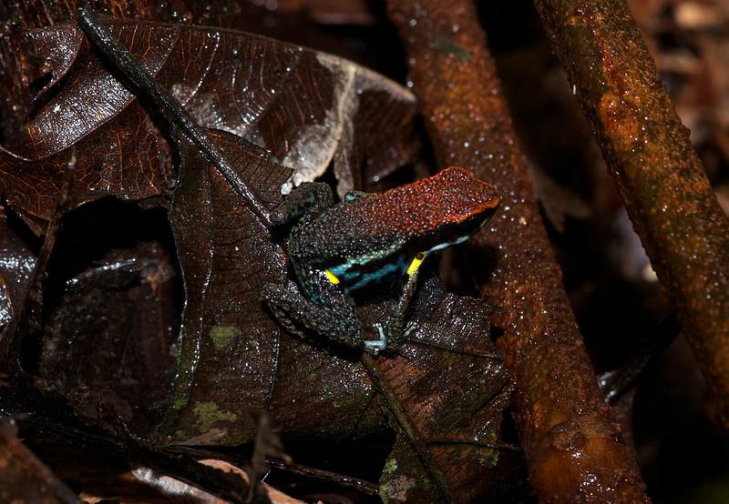 Sanguine Poison Frog (Epipedobates zaparo)